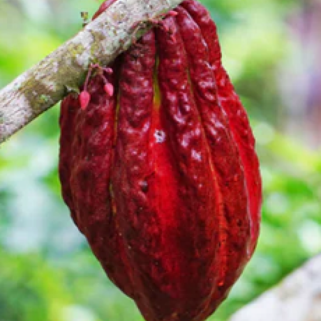 The Amazing Cacao Bean: Some History